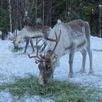 reindeer eating at Borealis Point reindeer farm