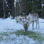 Reindeer eating Borealis Point reindeer farm