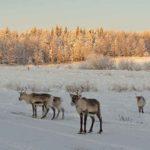 Reindeer at Borealis Point farm