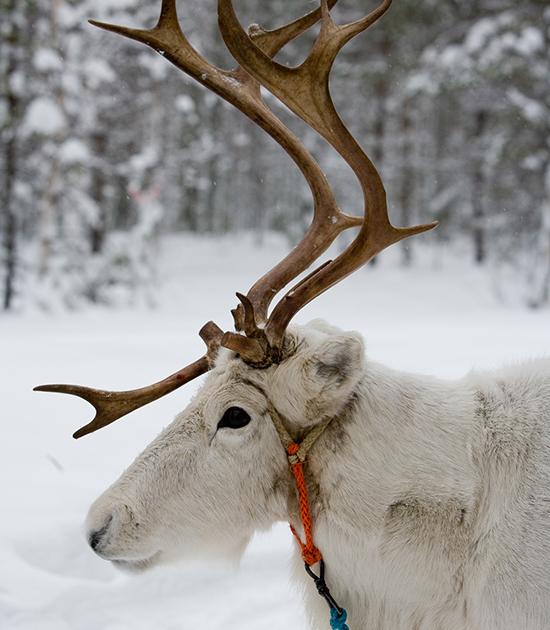 Borealis Point Reindeer tour