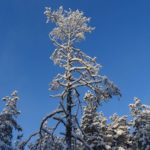 Snow covered trees in Rovaniemi