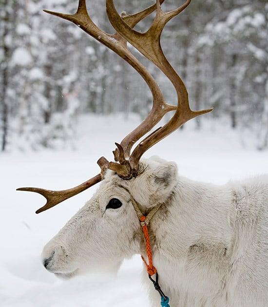 reindeer winter landscape rovaniemi